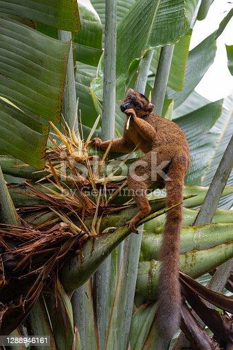 A red Vari Lemur on a banana plant in Antananarivo, Antananarivo Province, Madagascar