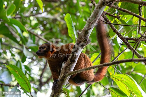 One red Vari sits in the branches of a tree