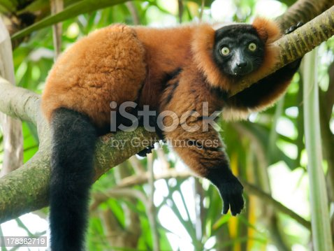Red Vari (Varecia Variegata Rubra) living in the Madagascar rainforest. Lying on a branch and looking into camera with eyes wide open.