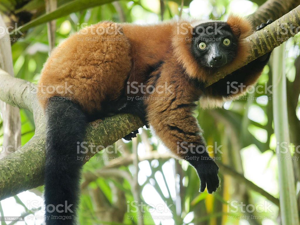 Red Vari sitting on tree and looking into camera stock photo