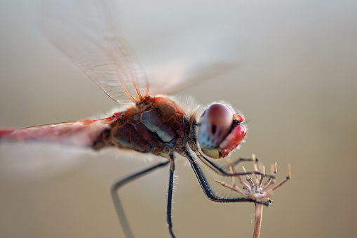 red veined darter on a twig with soft background. red dragonfly close up
