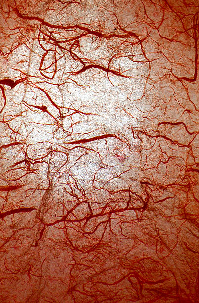 Royalty Free Blood Vessel Pictures Images And Stock Photos Istock