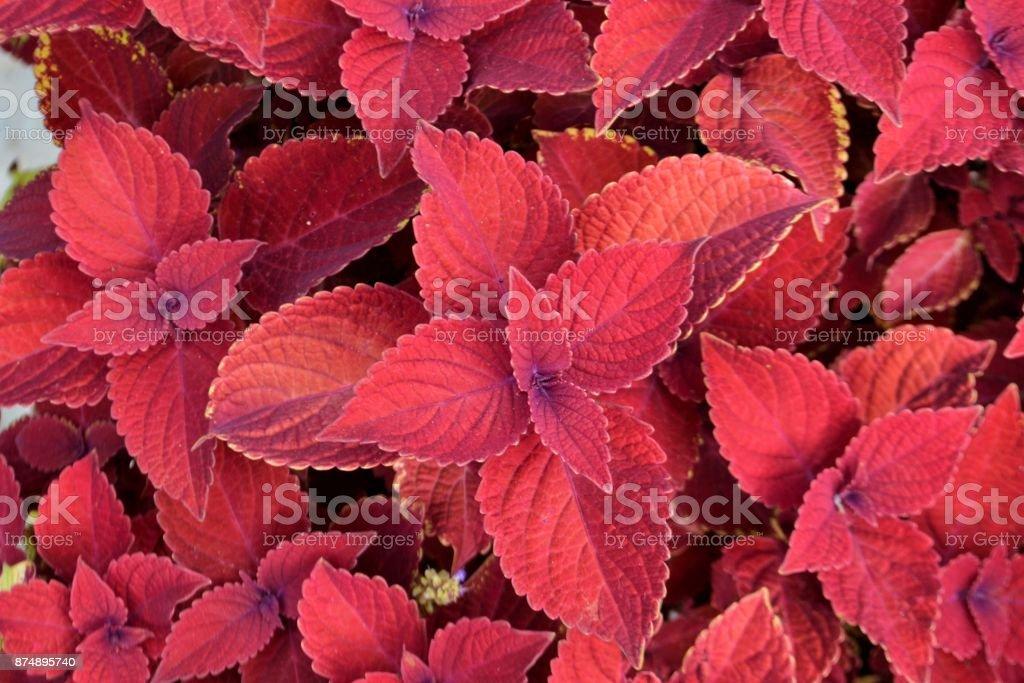 Red Velvet Coleus plants close up, background stock photo