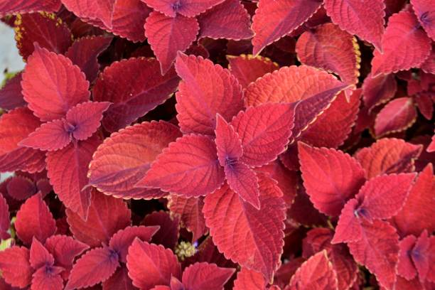 Red Velvet Coleus plants close up, background stock photo