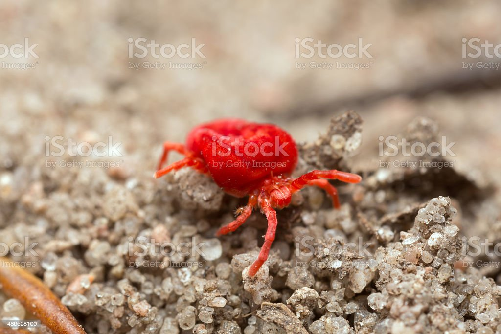 Red velvet mite on sand, high magnification stock photo