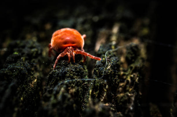 Red velvet mite stock photo