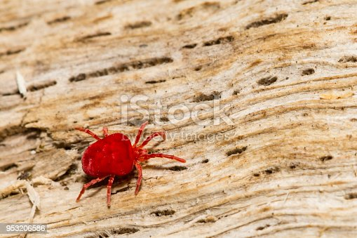 A close up of a Red Velvet Mite foraging on a log during spring.