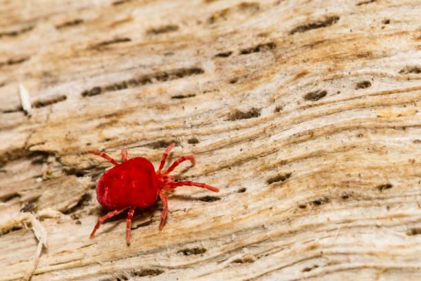 Ácaro rojo del terciopelo - foto de stock
