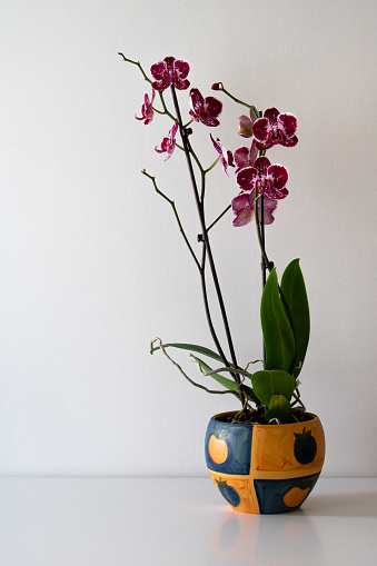 Red velvet phalaenopsis orchid flower growing in ceramic hand painted pot isolated on white background. Empty space for text