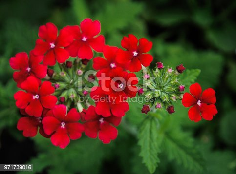 Close up of a deep red Verbena flower and unopened bud in a Cape Cod Garden