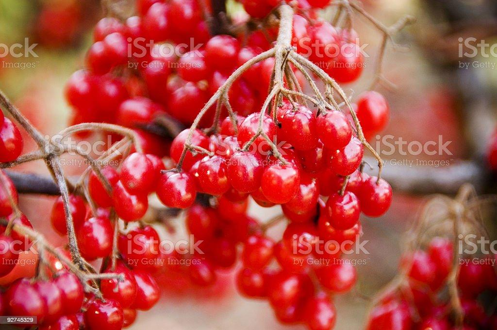 Rote Viburnum Beeren Lizenzfreies stock-foto