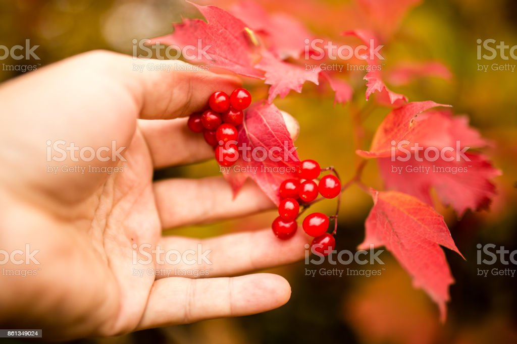 red viburnum in a hand on nature in autumn stock photo