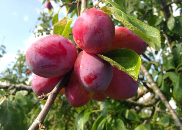 Red Victoria Plums on the Tree stock photo