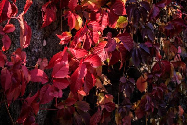 Red vine leaves (Vitis vinifera) stock photo