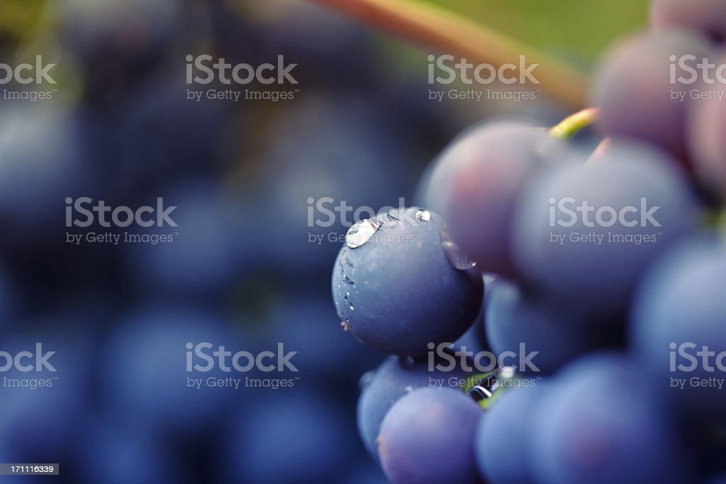 red vine royalty-free stock photo