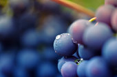 close-up of red grapes on a vineyard, selective focus in the center