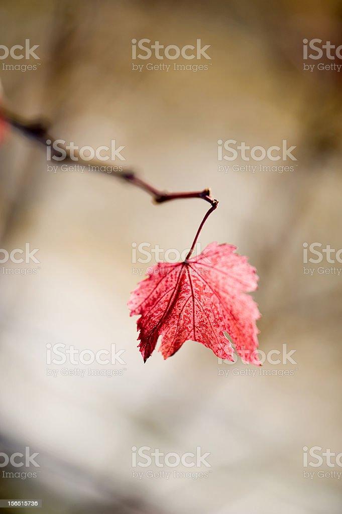 Red vineyard leaf royalty-free stock photo