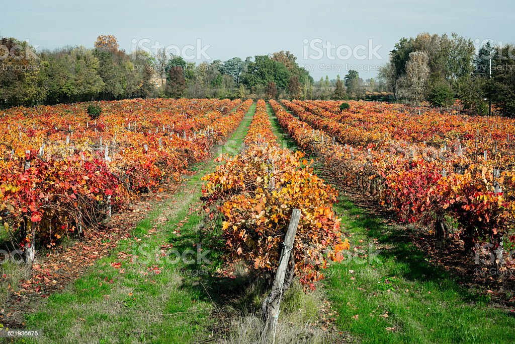 Red vineyard stock photo