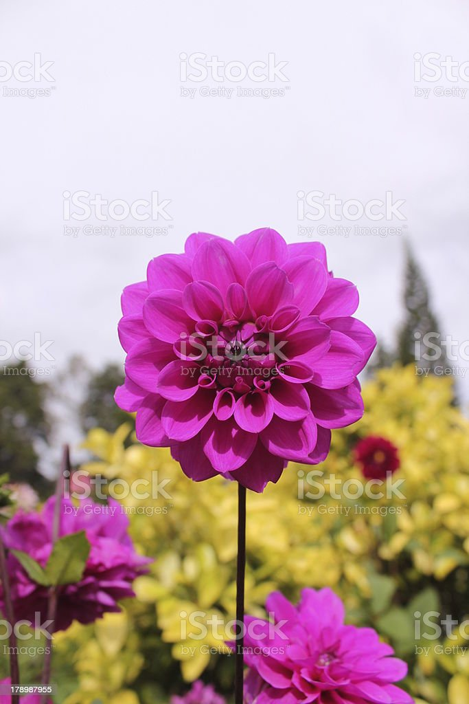 Red Violet Color Chrysanthemum royalty-free stock photo