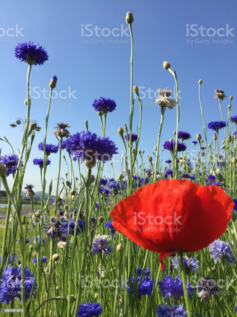 röd & violett blomma - Royaltyfri Bildbakgrund Bildbanksbilder