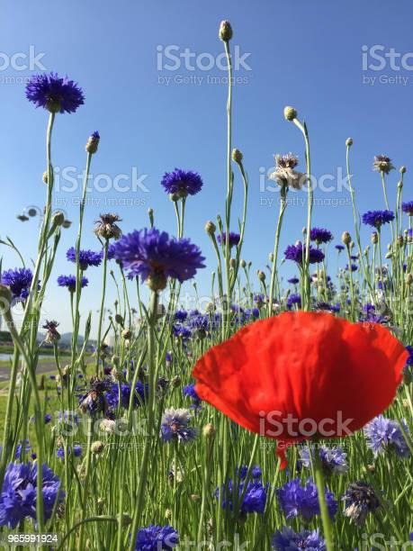 Röd Violett Blomma-foton och fler bilder på Bildbakgrund