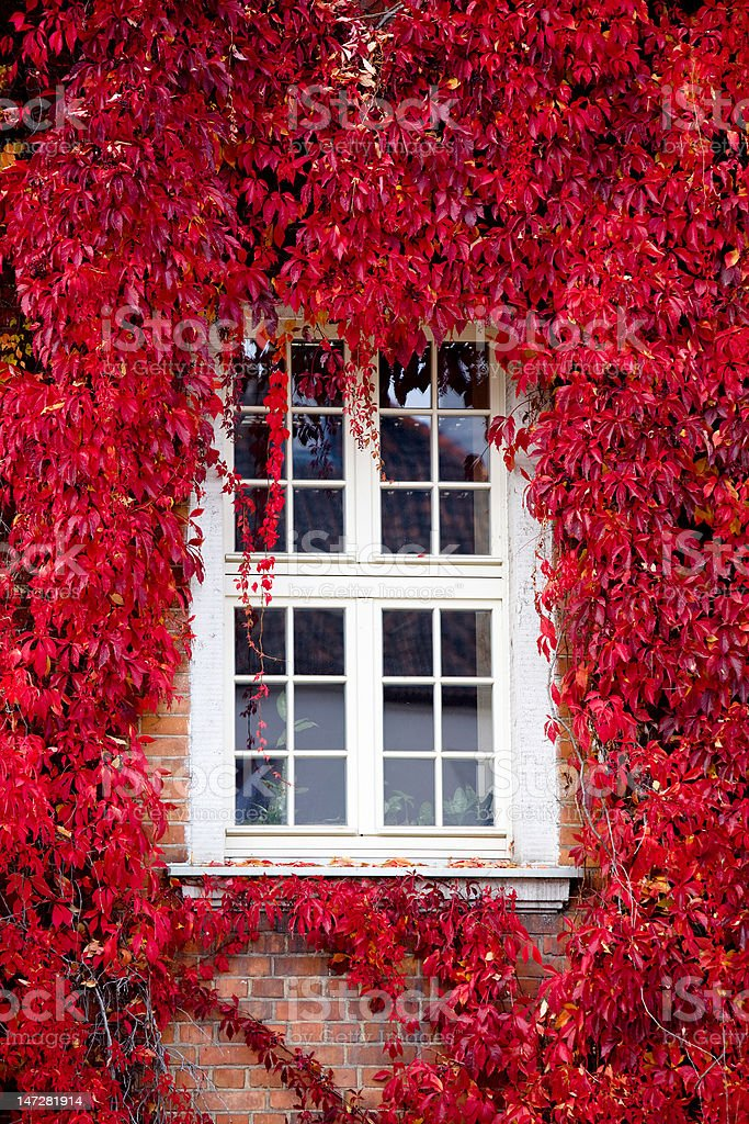 Red Virginia creeper around window stock photo