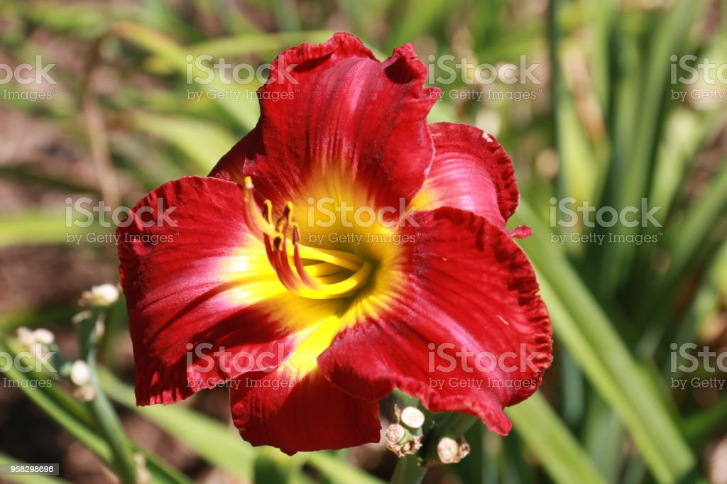 'red volunteer' daylily stock photo