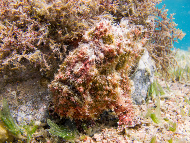Red Warty Frogfish at the bottom of the Red Sea next to an coral stock photo