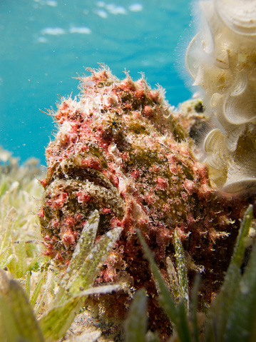 istock Red Warty Frogfish next to a coral on the bottom of the sea. 1152380621