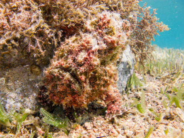 Red Warty Frogfish next to the coral. stock photo