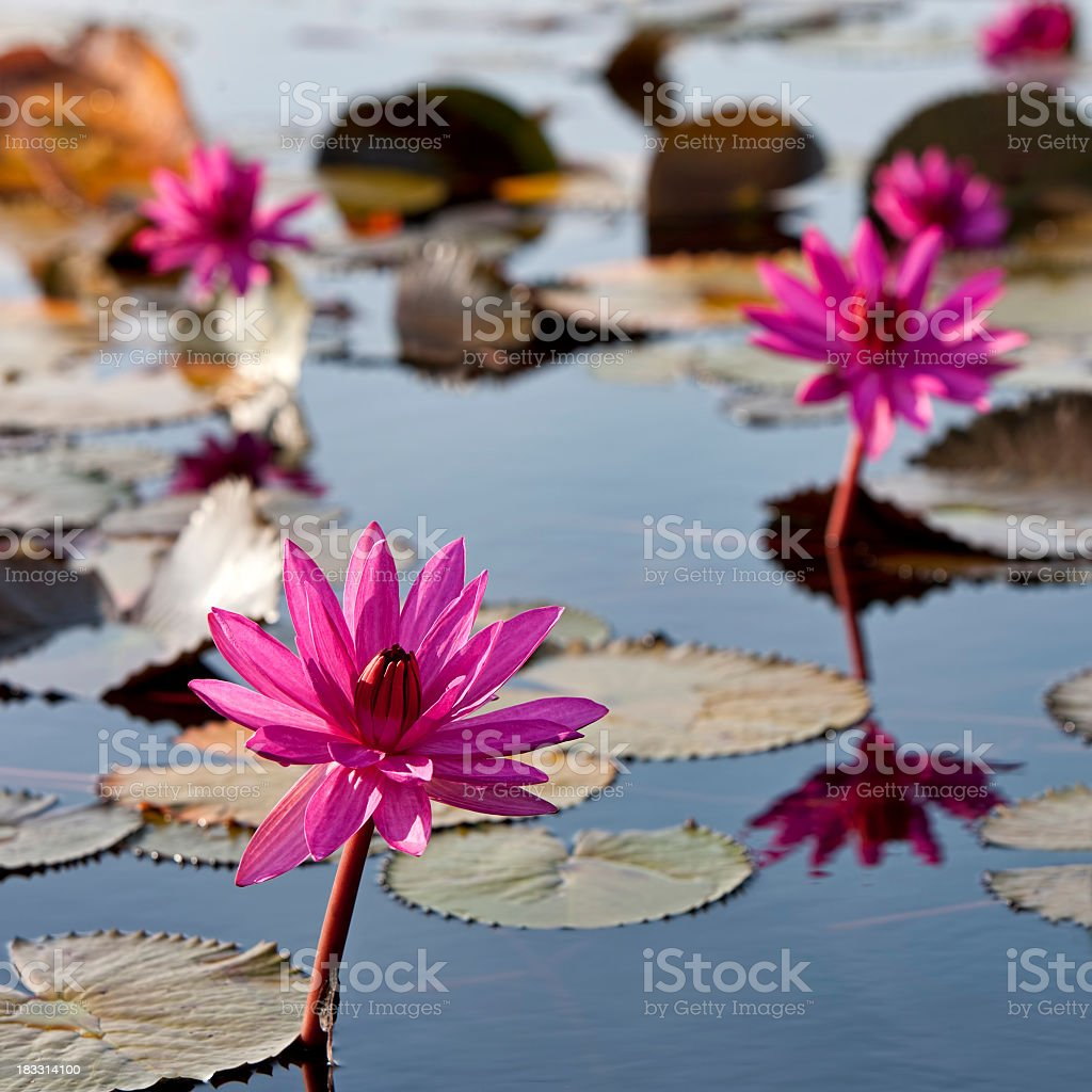 Red water lilies in a lake at sunrise. royalty-free stock photo