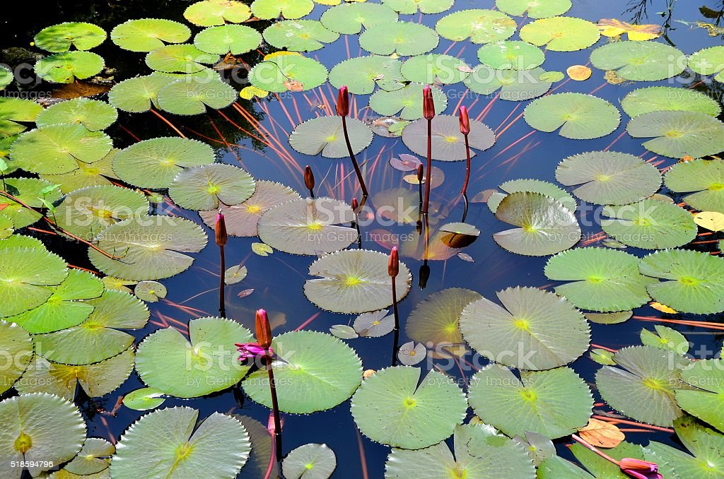Red water lilies. stock photo