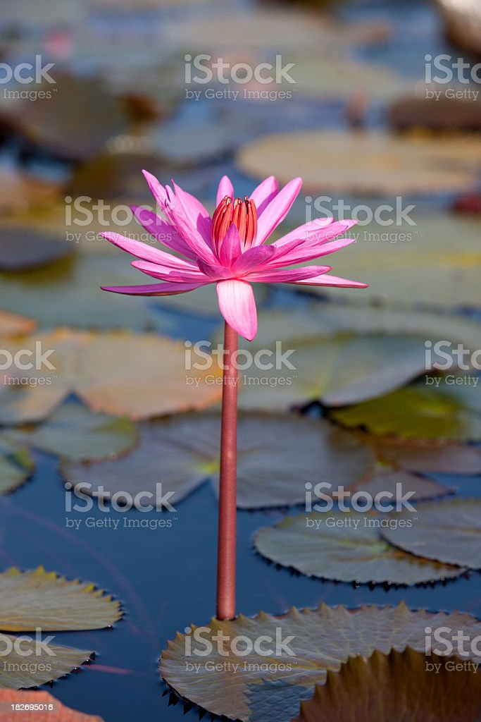 Red water lily in a lake. royalty-free stock photo