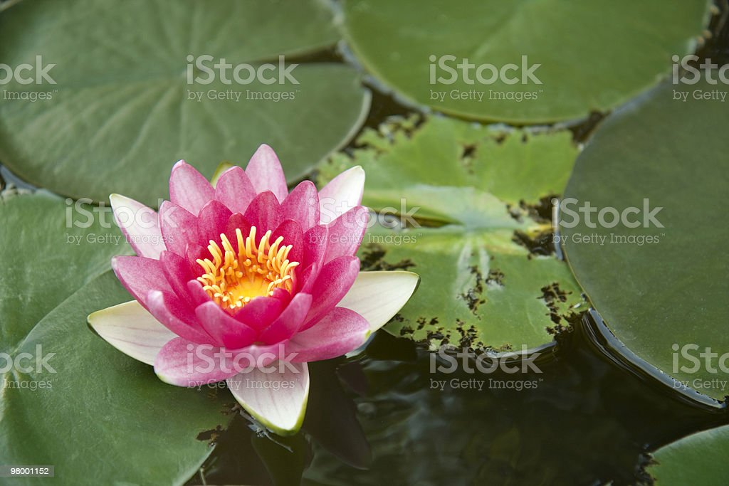 Red water lily royalty free stockfoto