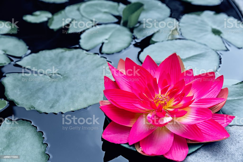 Red waterlily or lotus blossom stock photo