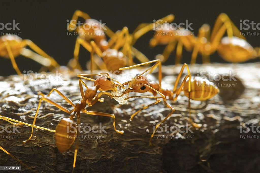 Red weaver ants royalty-free stock photo