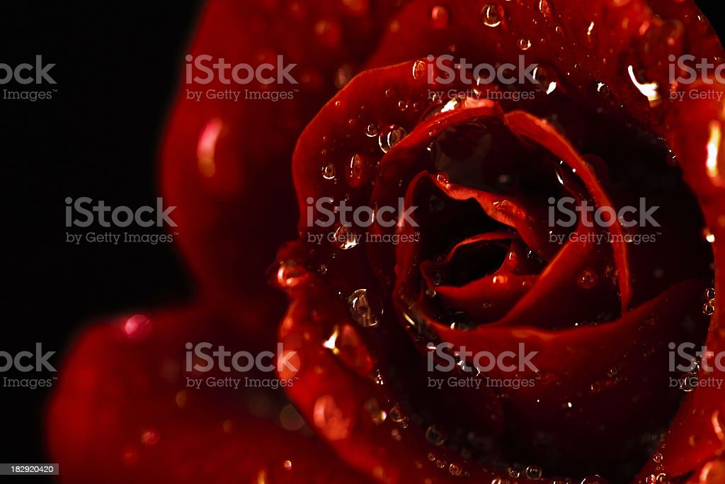 Red Wet Rose On Black royalty-free stock photo