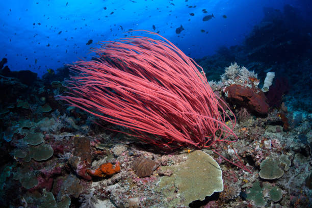 Red Whip Coral, Raja Ampat, Indonesia