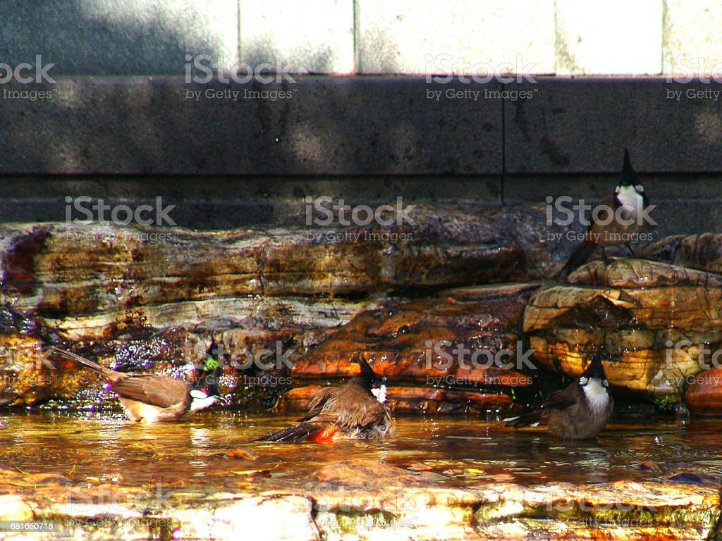 Red whiskered Bulbul bathing in the pond stock photo