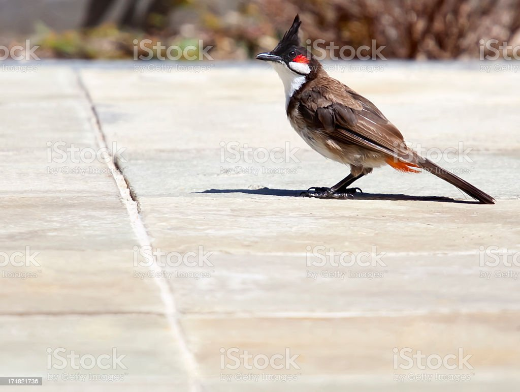 Red Whiskered Bulbul royalty-free stock photo