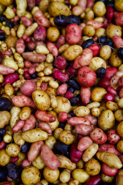 red white and purple new potatoes at the farmer's market stock photo