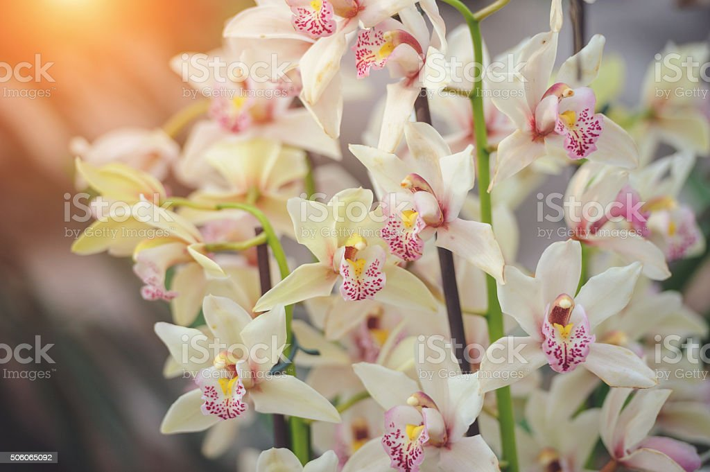 Red white Cymbidium orchid stock photo