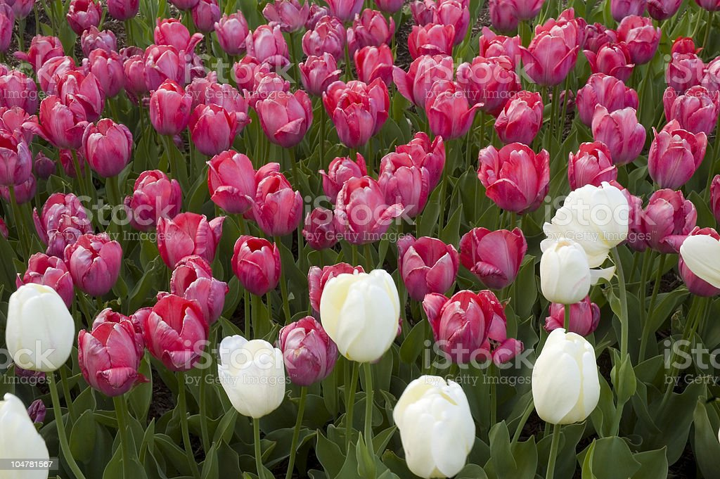 Red & White Tulip Bed stock photo