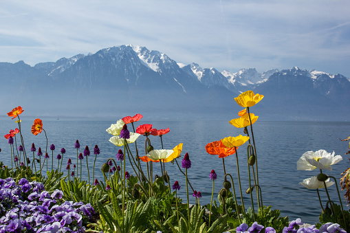 red, white, yellow, purple and orange flowers with swiss alps