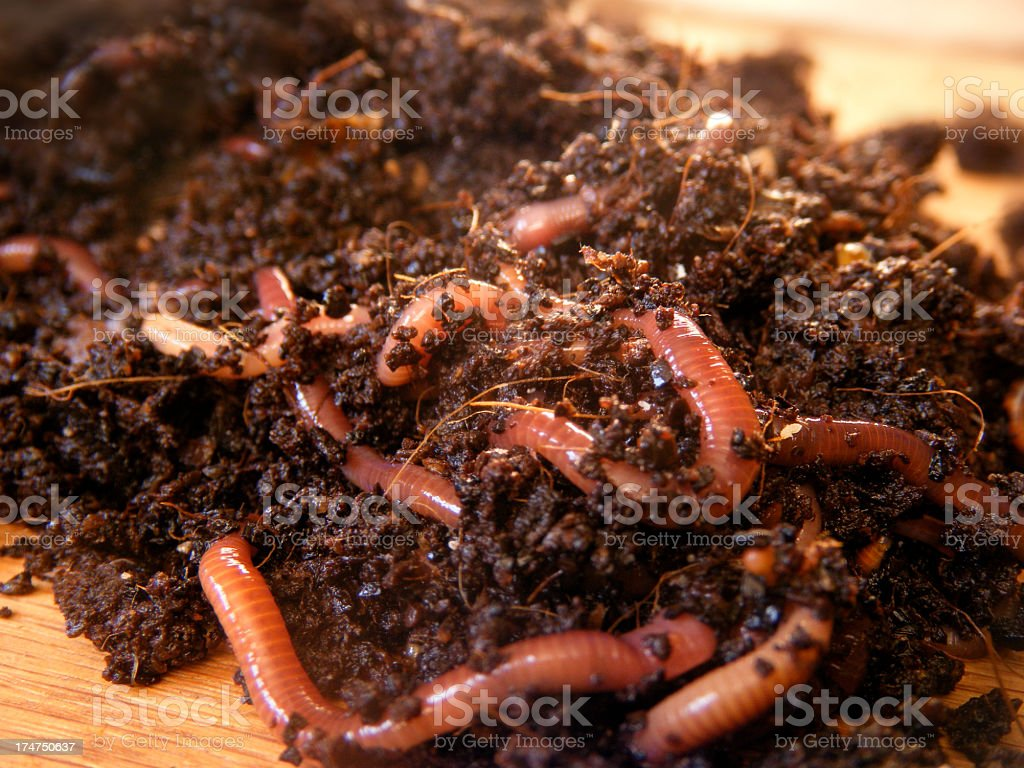 red wiggler worms in compost stock photo