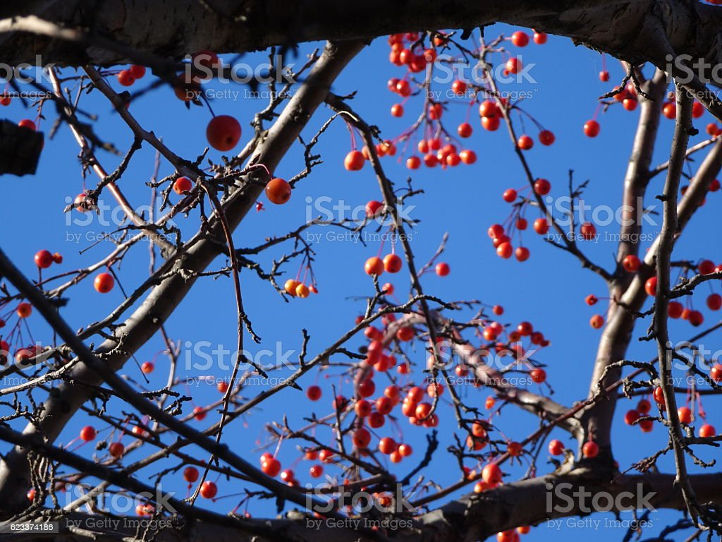 red wild berries on a tree against a blue sky stock photo