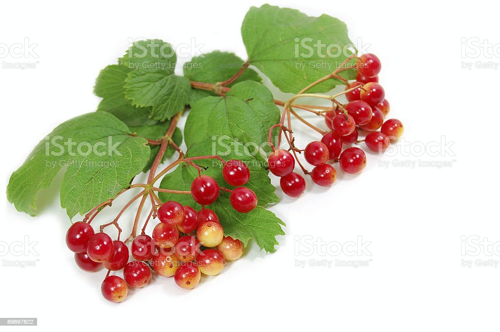 Red wild berries royalty-free stock photo