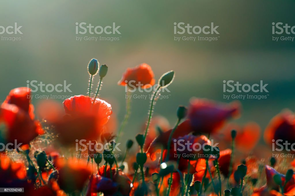 Red Wild poppies in the meadow at sunrise, amazing background photo. To jest Polska – Mazury stock photo