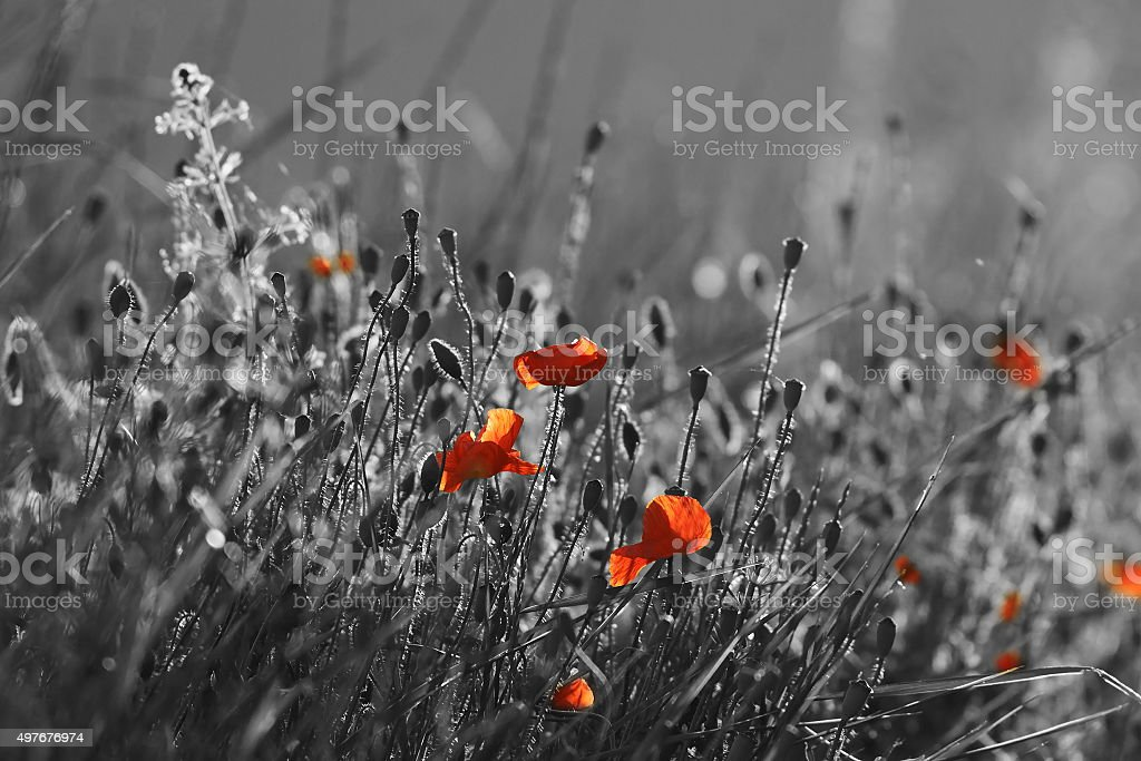 red wild poppies stock photo