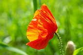 Red wild poppy flower growing in summer green fields, side view. Vibrant papaver plant in meadow background, soft selective focus